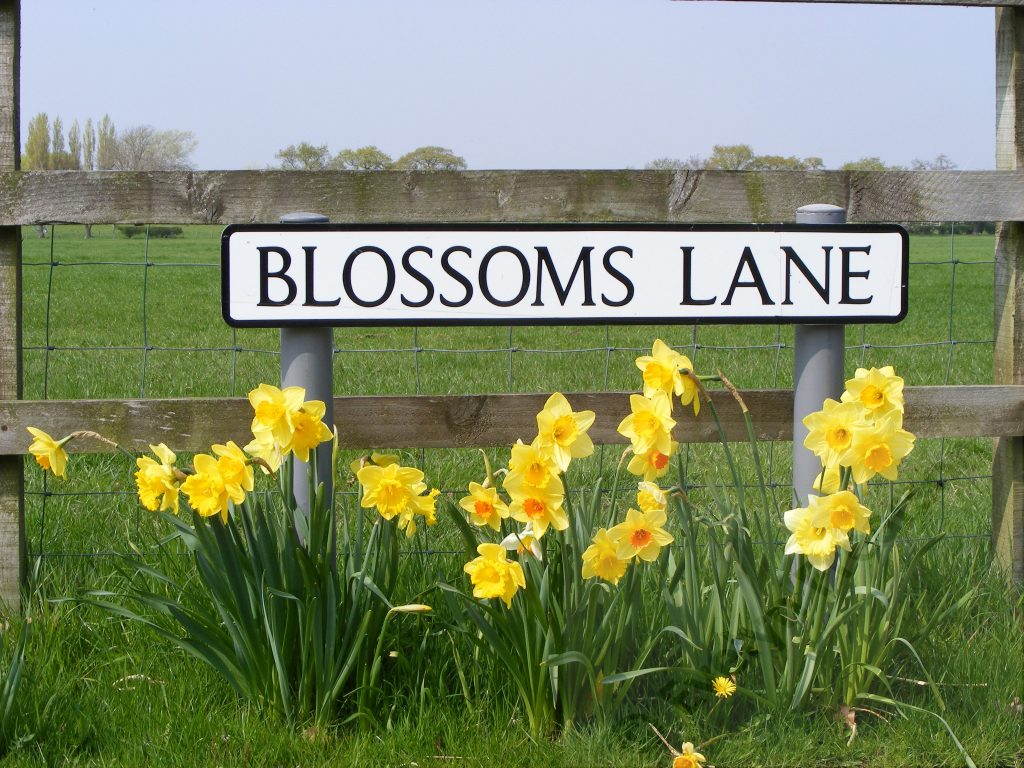 Daffodils in Blossoms Lane Woodford
