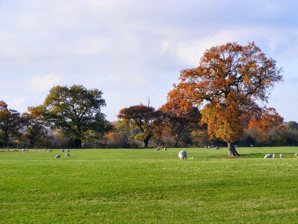 Oak Tree in Autumn West Woodford (2)